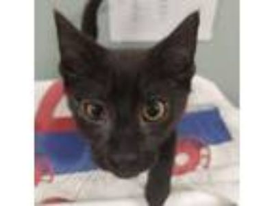 Adopt Homer a All Black Domestic Shorthair / Domestic Shorthair / Mixed cat in