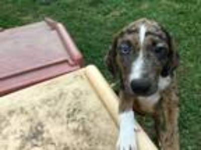 Adopt Strauss - Local June 9th a Labrador Retriever, Catahoula Leopard Dog