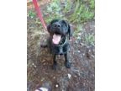 Adopt Buddy a Black Labrador Retriever / Schnauzer (Standard) / Mixed dog in