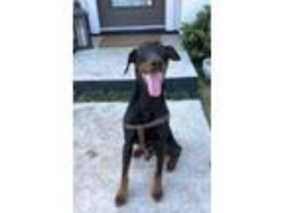 Adopt Rex a Black - with Tan, Yellow or Fawn Doberman Pinscher / Mixed dog in