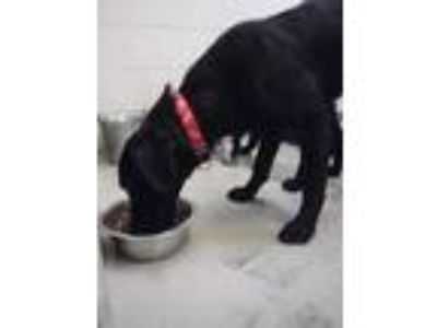Adopt Wesley a Black Labrador Retriever / Mixed dog in Benton, KY (22929229)