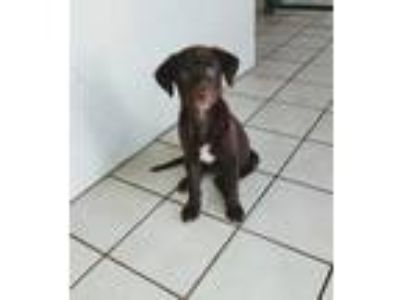 Adopt Jada's puppy Bella a Chocolate Labrador Retriever, Chocolate Labrador