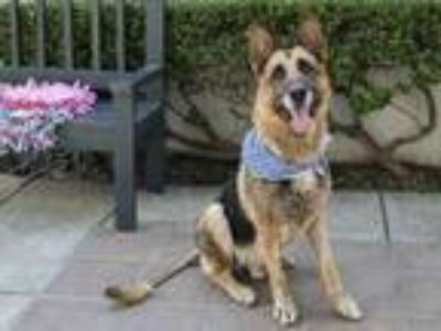 Adopt BRUCE a German Shepherd Dog