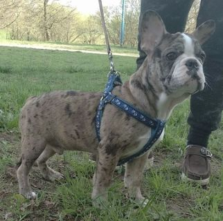 French Bulldog PUPPY FOR SALE ADN-78471 - Tan Merle Frenchie