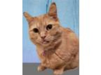 Adopt Jola a Orange or Red (Mostly) Domestic Shorthair / Mixed (short coat) cat