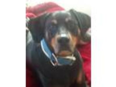 Adopt Sheba a Black - with Tan, Yellow or Fawn Doberman Pinscher / Rottweiler /