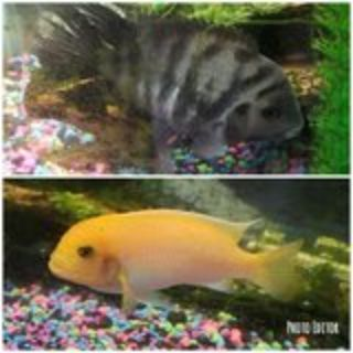 2 fish ( cichlid's) 5 inches