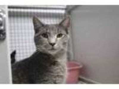 Adopt Lepus a Gray or Blue Domestic Shorthair / Domestic Shorthair / Mixed cat