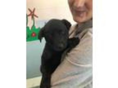 Adopt Berta a Black Labrador Retriever / Mixed dog in Florence, AL (23979655)