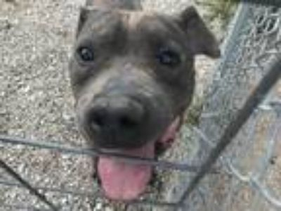 Adopt Stihl a Pit Bull Terrier / Mixed dog in Warrenton, MO (22853090)