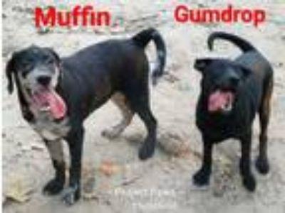 Adopt Gumdrop a Mixed Breed, Black Labrador Retriever