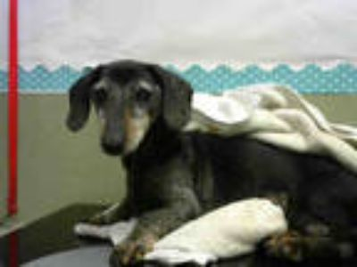 Adopt a Black Dachshund / Mixed dog in Moreno Valley, CA (25812605)