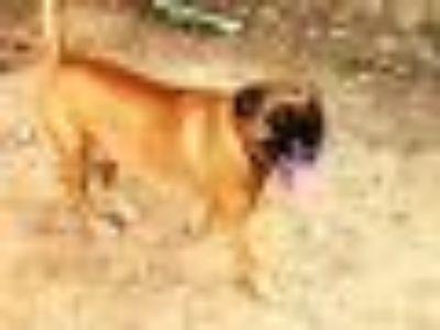 BEAUX Boxer Dog