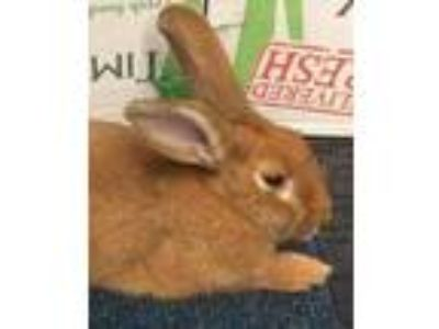 Adopt Sienna a Copper New Zealand / Mixed rabbit in Woburn, MA (25316825)