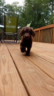 Goldendoodle PUPPY FOR SALE ADN-91902 - Blue Ridge Doodles