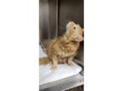 Adopt Heinz a Orange or Red Domestic Longhair / Mixed (long coat) cat in