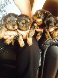 $400, Charming T-Cup Yorkie Puppies.....TEXT 470 328-5277