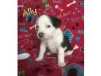 Adopt Ally a White Australian Shepherd / Australian Shepherd / Mixed dog in