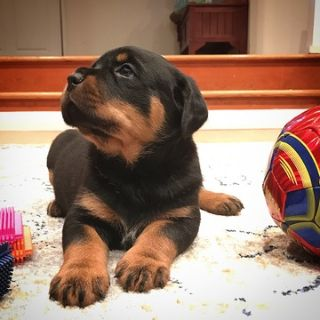 Rottweiler PUPPY FOR SALE ADN-77664 - Show quality German rottweiler