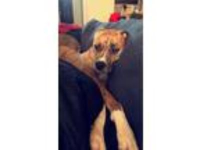Adopt Ailani a Brindle Boxer / American Pit Bull Terrier / Mixed dog in Porter