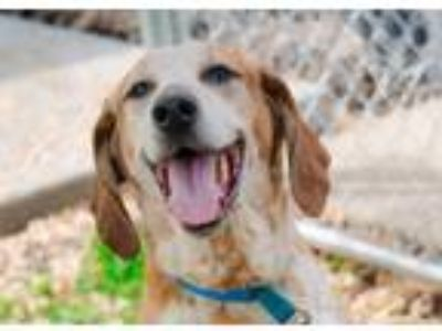 Adopt Fred a Hound (Unknown Type) / Mixed dog in Boone, IA (25348901)