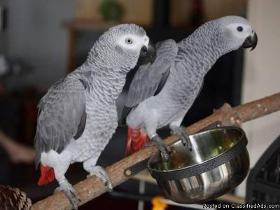 African Grey Parrot Breeding pair