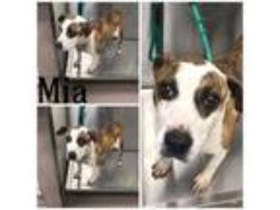 Adopt MIA a Pit Bull Terrier, Mixed Breed