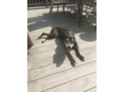Adopt Remi a Black American Pit Bull Terrier dog in Edison, NJ (25551344)