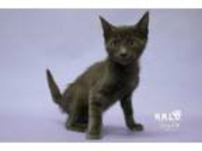 Adopt Simia a Domestic Short Hair