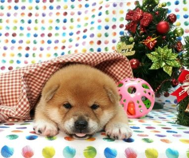 Shiba Inu PUPPY FOR SALE ADN-105507 - Highest Class Red Shiba Inu LA SF New York Seattle
