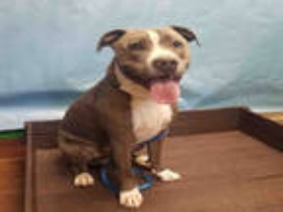 Adopt AZUL a Gray/Silver/Salt & Pepper - with White American Pit Bull Terrier /