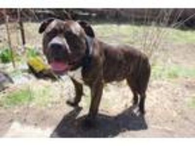 Adopt Beemo a Pit Bull Terrier