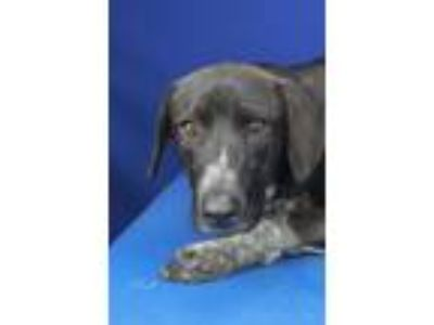 Adopt Madison Lynn-091526L a Pointer, Hound
