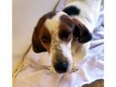 Adopt Missy a Tricolor (Tan/Brown & Black & White) Hound (Unknown Type) / Mixed