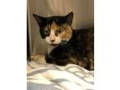 Adopt Charlotte a Domestic Short Hair