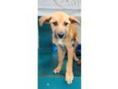 Adopt Bobby a Brown/Chocolate - with White Labrador Retriever / Mixed dog in