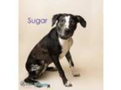 Adopt Sugar a Black Catahoula Leopard Dog / Mixed dog in Fairhope, AL (22959331)