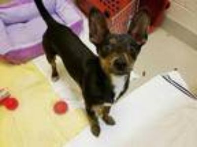 Adopt REESE a Black Terrier (Unknown Type, Medium) / Dachshund / Mixed dog in