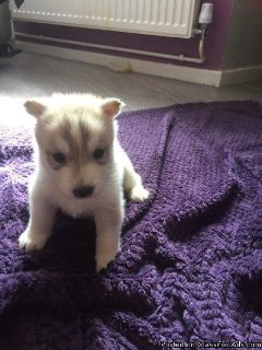 Siberian Husky Puppies (Ready This Weekend)