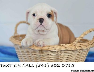 Courageous &^% English Bulldog Puppies Available