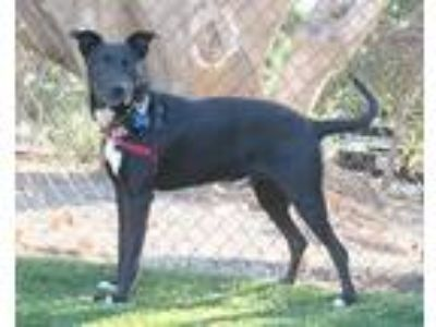 Adopt MIDNIGHT a Black - with White Labrador Retriever / Mixed dog in Goleta