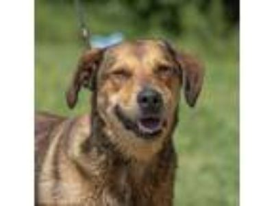 Adopt Jay a German Shepherd Dog, Labrador Retriever