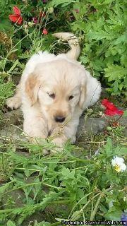 appropriate vaccinat golden retriever pup
