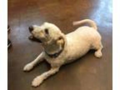Adopt Tommy a White Bichon Frise / Poodle (Miniature) dog in Mebane