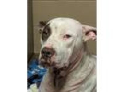 Adopt Zara a American Pit Bull Terrier / Mixed dog in Athens, AL (25092932)