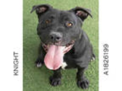 Adopt KNIGHT a Black - with White American Pit Bull Terrier / Mixed dog in Los