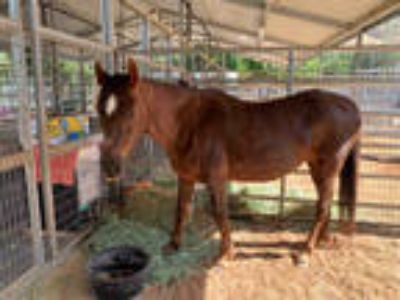 Adopt HONEY ROSE a Bay Tennessee Walking Horse / Mixed horse in Agoura