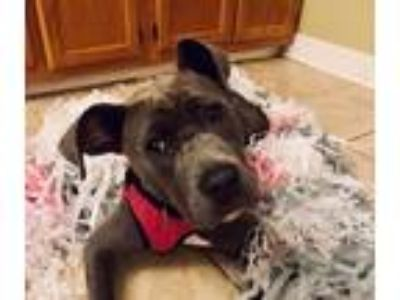 Adopt Candu a Gray/Blue/Silver/Salt & Pepper Pit Bull Terrier dog in