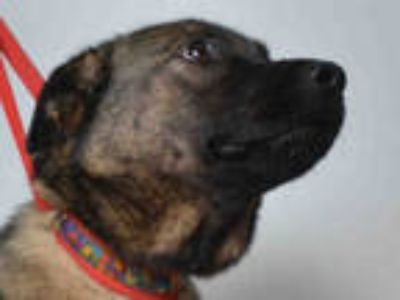 Adopt SHEBA a Brown/Chocolate - with Black German Shepherd Dog / Mixed dog in