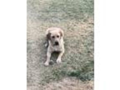 Adopt Buster a Red/Golden/Orange/Chestnut - with White Labrador Retriever /